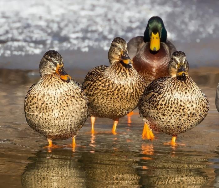 Nombres para patos hembras