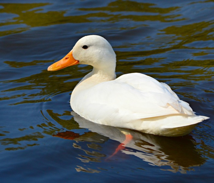 Nombres para patos