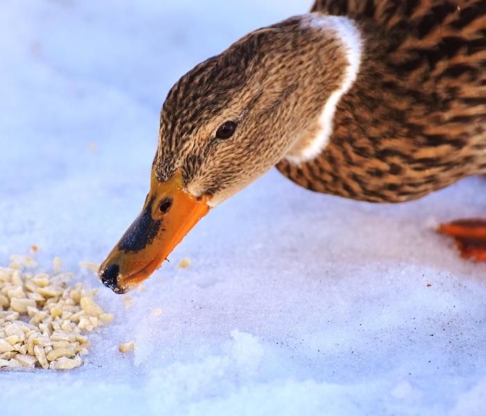 que alimento comen los patos