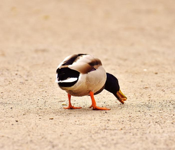 que comen los patos domesticos