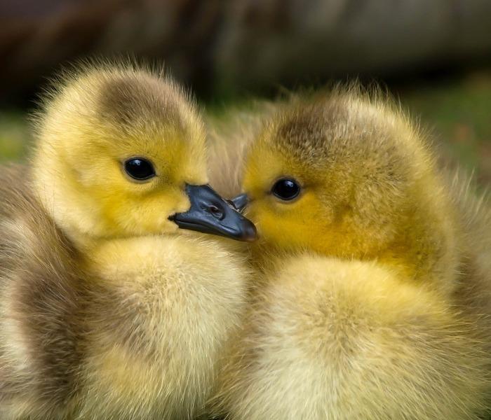 que comen los patos pequeños